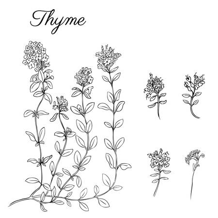 Hand drawn Thyme branch with leaves isolated on white. Healing herb. Ilustrace