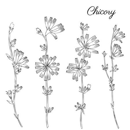 weeds: Chicory flower, bud, leaf hand drawn graphic vector botanical illustration, doodle ink sketch isolated on white background