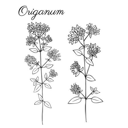 weeds: Blossoming oregano flowers vector ink doodle sketch hand drawn healing herb isolated on white, vintage botanical illustration, Collection herb for cards, cosmetic, medicine Illustration