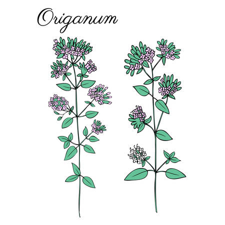 Blossoming oregano flowers vector ink doodle sketch hand drawn healing herb isolated on white background
