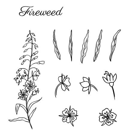Willow herb, Chamerion angustifolium, fireweed, rosebay hand drawn ink sketch botanical illustration, vector graphic flower collection, design bouquet for packaging tea, greeting card