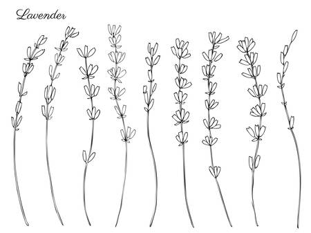 Lavender flowers, hand drawn doodle vector sketch isolated on white.