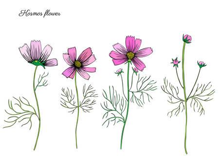 Kosmos bloem, kosmeya hand getrokken doodle inkt schets, kleurrijke illustratie, wilde bloem astra, bloemdessin voor wenskaart, bruiloft uitnodiging, element patroon, cosmetische verpakking, bloemist winkel