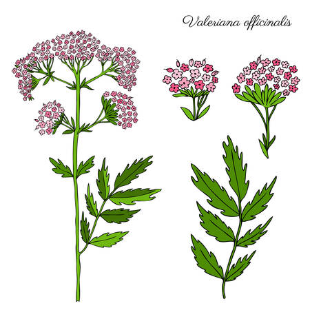 Valeriana officinalis botanical hand drawn vector color sketch isolated on white background, doodle illustration for design package natural cosmetic, organic medicine, greeting card, herbal green tea