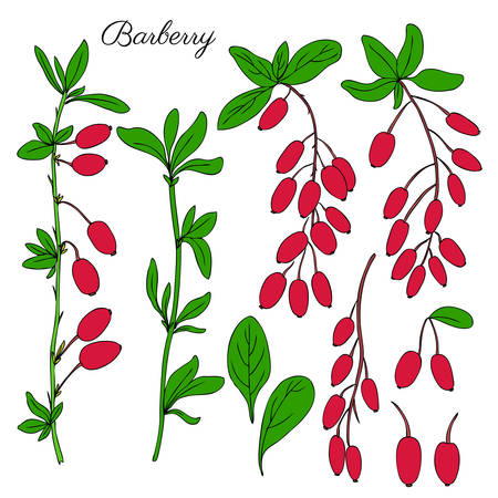 Barberry hand drawn branch vector sketch isolated on white background, colorful berry, Natural spicy herbs, graphic doodle cooking ingredient for design package tea, cosmetic, medicine, greeting card