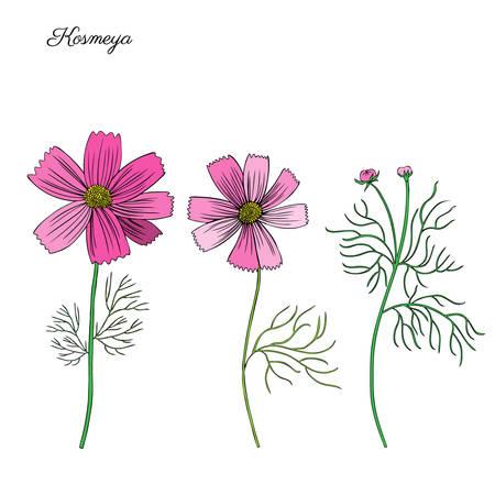 Kosmos bloem, kosmeya hand getrokken doodle inkt schets, kleurrijke illustratie, wilde bloem astra, ontwerp met bloemen voor de wenskaart, bruiloft uitnodiging, element patroon, cosmetische verpakking, schoonheidssalon