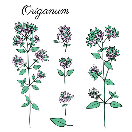 marjoram: Blossoming Oregano flowers vector colorful doodle sketch hand drawn healing herb Marjoram isolated on white, botanical illustration spice, design for card, natural cosmetic, kitchen menu, herbal tea