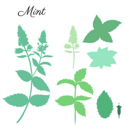 field mint: Mint leaves, peppermint buds isolated on white background, Hand drawn vector floral silhouette, spicy kitchen green herb, Doodle cooking ingredient for design package herbal tea, cosmetics, medicine