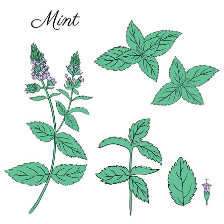 Mint branch, leaves and flower isolated on white, Hand drawn vector spicy herbs, Doodle cooking ingredients for design cosmetic, medicine, herbal tea package, beauty salon, natural organic product