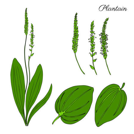 Great plantain, Plantago major medicinal plant wild field flower isolated on white background, hand drawn vector doodle colorful illustration for design package tea, cosmetic, medicine, greeting cards Illustration