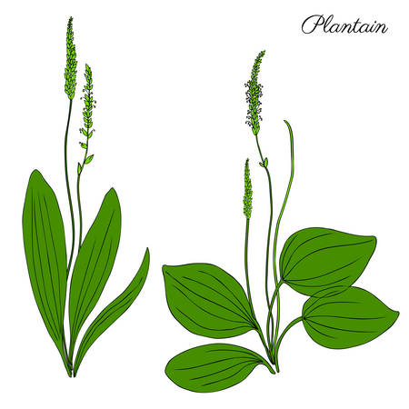 plantain herb: Great plantain, Plantago major medicinal plant wild field flower isolated on white background, hand drawn vector doodle colorful illustration for design package tea, cosmetic, medicine, greeting cards Illustration