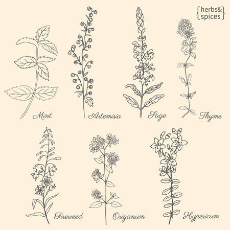 Set of medical plants Mint, Chamerion, fireweed, willow herb, Sage, Thyme, Oregano, Hypericum, Artemisia absinthium, wormwood hand drawn vintage sketch vector isolated, Doodle Healing herb for package