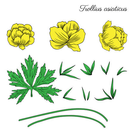 Trollius asiaticus flowers, globeflower hand drawn vector sketch isolated on white. Illustration