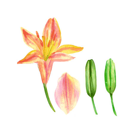Lily flower, petal, bud watercolor hand drawn botanical illustration isolated on white for design package cosmetic, greeting card, wedding invitation, florist shop, printing, beauty salon, wallpaper