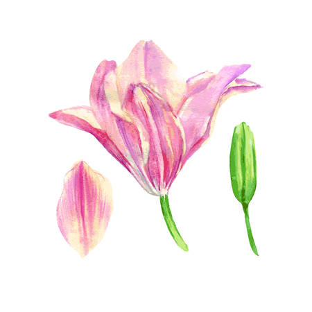 Lily flower watercolor hand drawn botanical illustration isolated on white for design package cosmetic, greeting cards, wedding invitation, florist shop, printing, beauty salon, printing, wallpaper