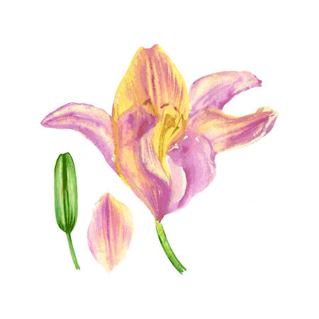 Lily flower, petals, bud watercolor hand drawn botanical illustration isolated on white for design pattern, package cosmetic, greeting card, wedding invitations, florist shop, printing, beauty salon