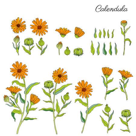 Calendula officinalis flowers.