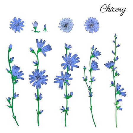 Witlof bloem hand getekend grafisch