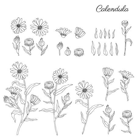 Calendula officinalis flowers isolated on white background, botanical hand drawn marigold.