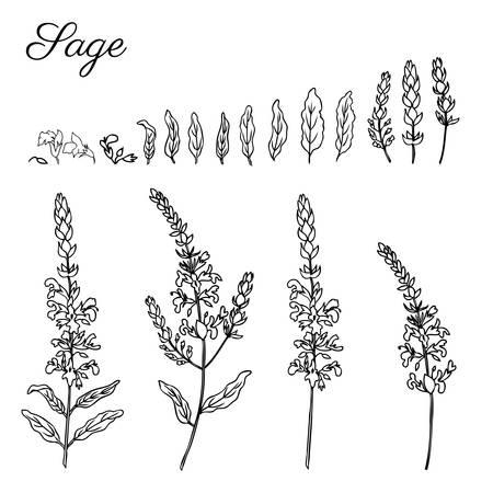 Weiser Blumenvektor lokalisiert auf weißem Hintergrund, Hand gezeichnete Tintengekritzelskizzen-Salbei-Heilkräuter Standard-Bild - 94134774