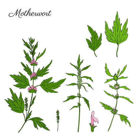 Motherwort hand drawn vector sketch isolated on white background, colorful herbal medical sedative plant.