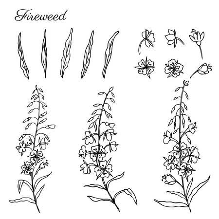 Willow herb, Chamerion angustifolium, fireweed, rosebay hand drawn ink sketch botanical illustration.