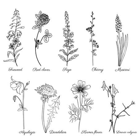 Set of field plants Chamerion, fireweed, willow herb, Sage, Red clover, Muscari, Chicory, Dandelion, Aquilegia, Kosmos flower, Linaria vulgaris, common toadflax hand drawn vector doodle herb isolated