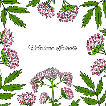 Valeriana officinalis hand drawn vector colorful illustration isolated on white background, floral square frame for design package cosmetic, organic medicine, greeting cards, herbal green tea label Banco de Imagens