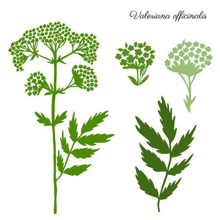 Valeriana officinalis illustration isolated on a white background Illustration