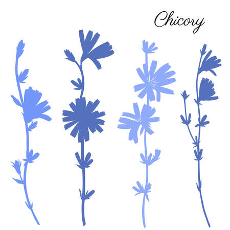 Chicory flower hand drawn graphic vector
