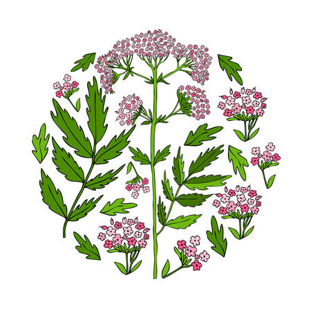Valeriana officinalis hand drawn vector colorful illustration isolated on white background, round frame for design package cosmetic, organic medicine, greeting cards, herbal green tea label, banner