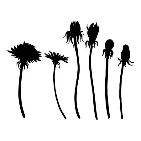 Dandelion flowers vector botanical hand drawn silhouette isolated on white bakcground, floral set, decorative elements for design greeting card, package cosmetic, wedding invitation, natural medicine