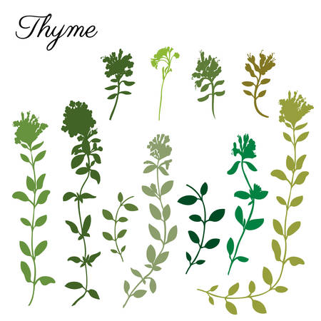 Thyme branch hand drawn vector silhouette illustration isolated on white, Natural cooking doodle spicy ingredient, Healing herb design for greeting card, invitation, packaging tea, cosmetic, kitchen Ilustração
