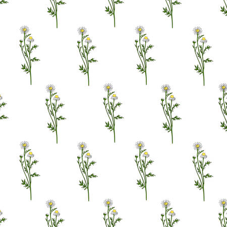 Chamomile wild field flower isolated on white background, botanical hand drawn Daisy sketch, vector illustration, seamless pattern for design package tea, natural cosmetic, medicine, decorative fabric