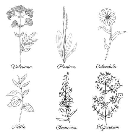 Clover, blossom shamrock wild field flower Plantain, Calendula, Nettle, Valeriana officinalis, Chamerion, Hypericum hand drawn vector ink sketch isolated on white, for cosmetic, design package tea