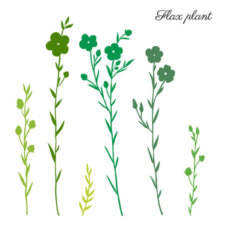 Flax plant, wild field flower green silhouette isolated on white, botanical hand drawn sketch vector illustration, for design package organic cosmetic, natural medicine, greeting card, vegan food Illusztráció