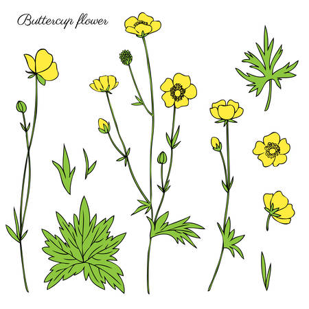 Buttercup flower or Crowfoot vector illustration isolated on white background, ink sketch, decorative herbal colorful doodle, line art for design medicine, wedding invitation, greeting card, cosmetic Stock Illustratie