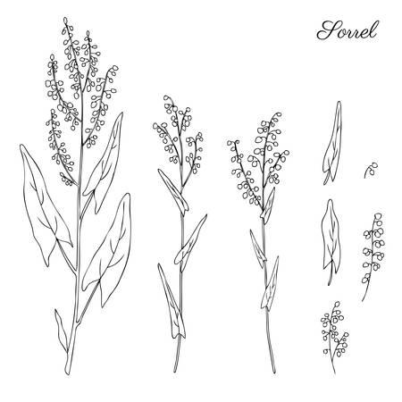Sorrel plant vector hand drawn illustration isolated on white background, ink sketch, decorative herbal doodle, line art medical herbs set for design cosmetic, natural medicine, kitchen menu