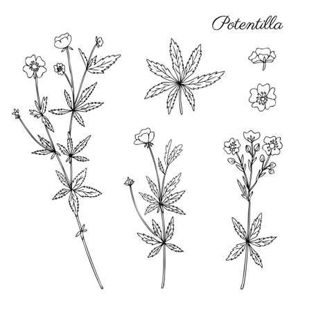 Cinquefoil flower, potentilla erecta, bloodroot vector hand drawn illustration isolated on white, ink sketch, decorative herbal doodle, line art medical herbs set for design cosmetic, natural medicine