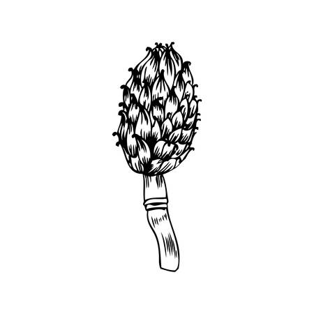 Artichoke hand drawn vector sketch isolated on white background, graphic herbal decorative plant, Organic food ingredient line art illustration, for design healthy market, restaurant menu, cosmetic