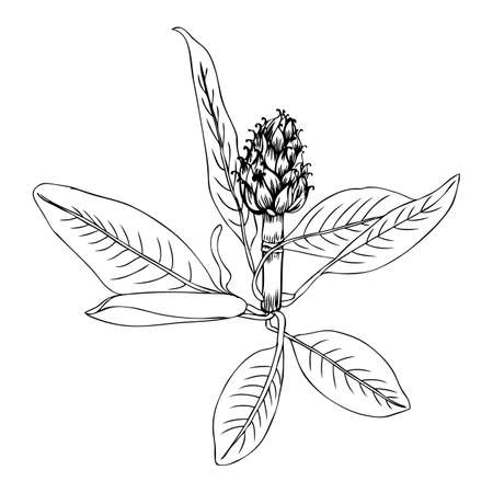 Artichoke flower and leaf hand drawn vector sketch isolated on white background, herbal decorative plant, Organic food ingredient line art illustration, for design healthy market, menu, cosmetics