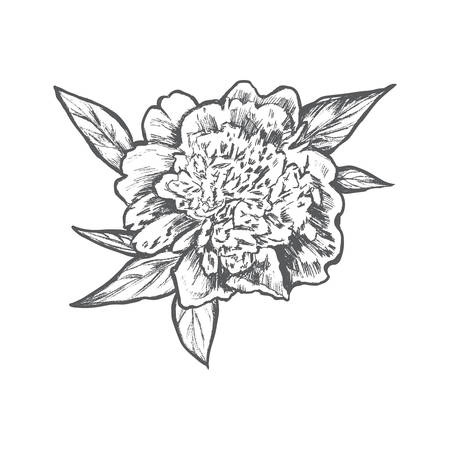 Graphic peony flower with leaves hand drawn engraved vector, vintage decorative illustration isolated on white background for design beauty salon, wedding card, greeting invite, florist shop, patterns