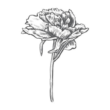 Graphic peony flower hand drawn vintage vector illustration isolated on white background, decorative floral element for design beauty salon, wedding card, greeting invitation, florist shop, cosmetics Ilustrace