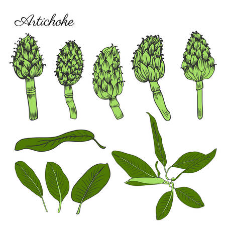 Artichoke hand drawn vector set isolated on white background, graphic herbal decorative colorful plant, Organic food ingredient illustration, for design healthy market, restaurant menu, cosmetics