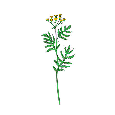 Tansy flower or Tanacetum vulgare vector illustration isolated on white backdrop, colorful ink sketch, decorative herbal doodle, for design medicine, wedding invitation, greeting card, cosmetics