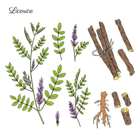 Licorice plant, flowers and licorice root vector hand drawn illustration isolated on white, ink sketch, decorative herbal colorful doodle, medical herbs set for design cosmetics, natural medicine