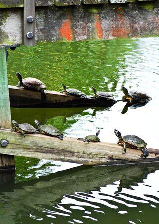 semi aquatic: Tortoise family on a railing