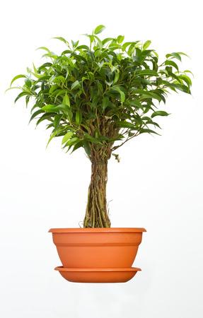 ficus: Ficus flower in pot