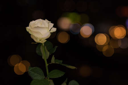 rosa: Rosa on the background lights of the night city