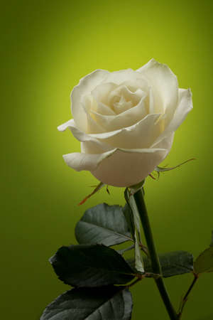 detailed shot: White rose on a green background. Detailed shot. Stock Photo